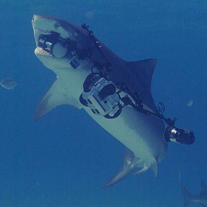When The Tiger Shark You're Photographing Swims Off With Your Camera Rig