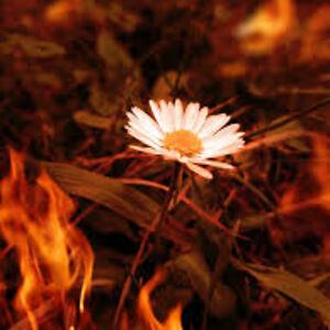 Daisyflame4901