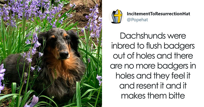 30 Tweets By Dachshund Owners About How It Feels To Have Such Personalities As Pets