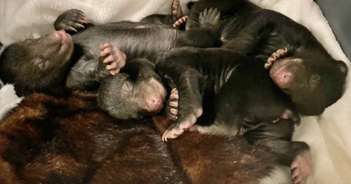 Homeowner Discovers A Bear Peacefully Hibernating Underneath His House With Its 3 Cubs