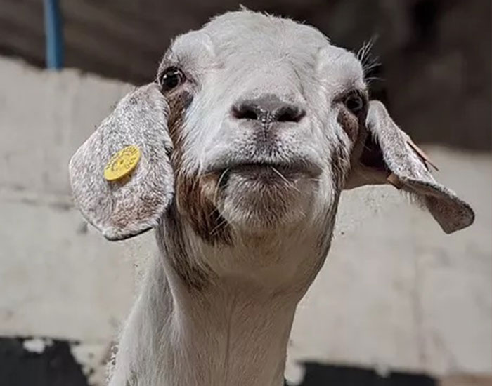 Farm Rents Their Goats For Zoom Conference Calls For $7/5 mins, Raises $68k