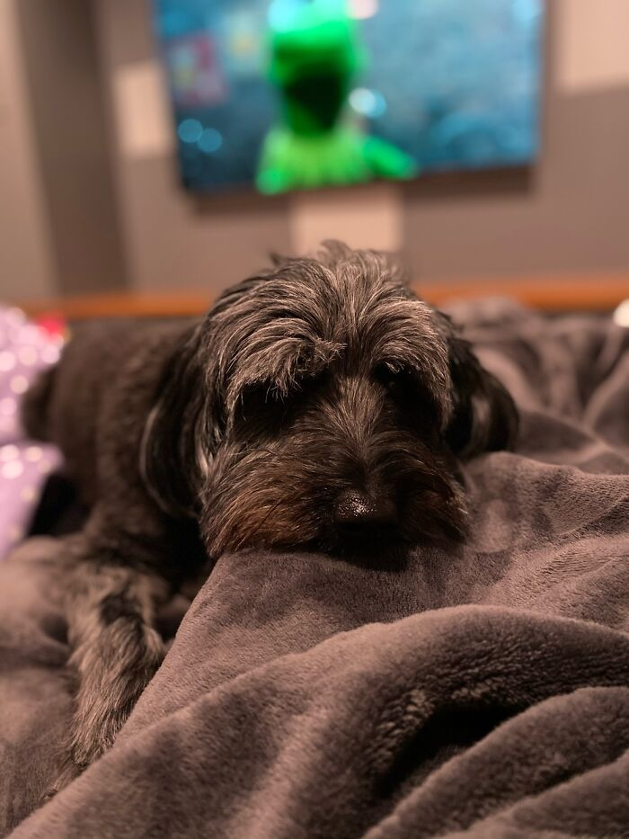 Okay I Already Posted But I Can't Take It Down So Here's Another Of My Schnoodle Rosie.