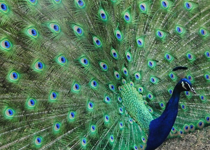 One Of My Favorite Photos Is This Peacock Strutting His Stuff.