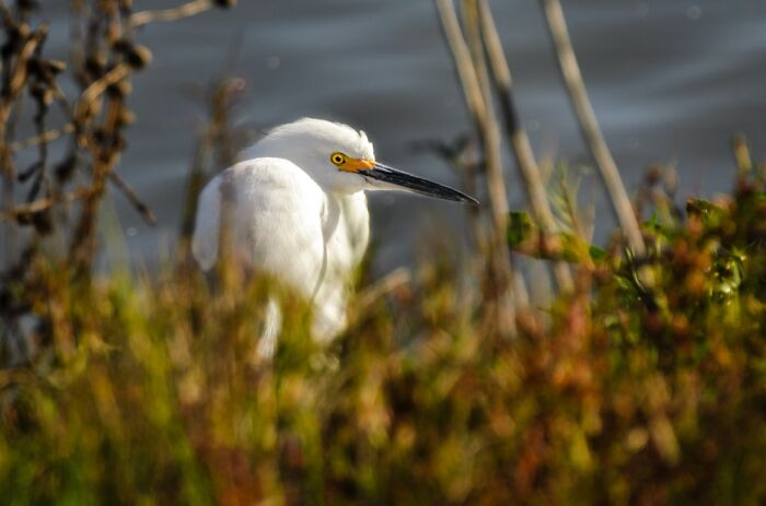 This Is A Snowy Egret. I Had To Crawl On The Ground And Be Very Quiet So I Wouldn't Scare It.