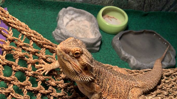 This One Of My Bearded Dragon Dj