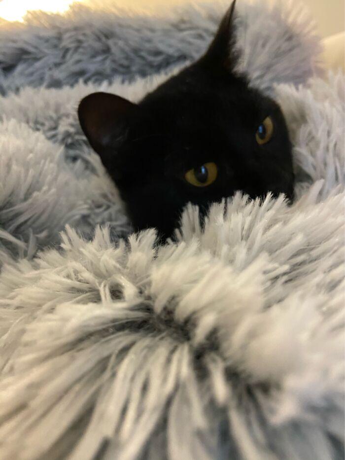 Cat In A Blanket Uwu