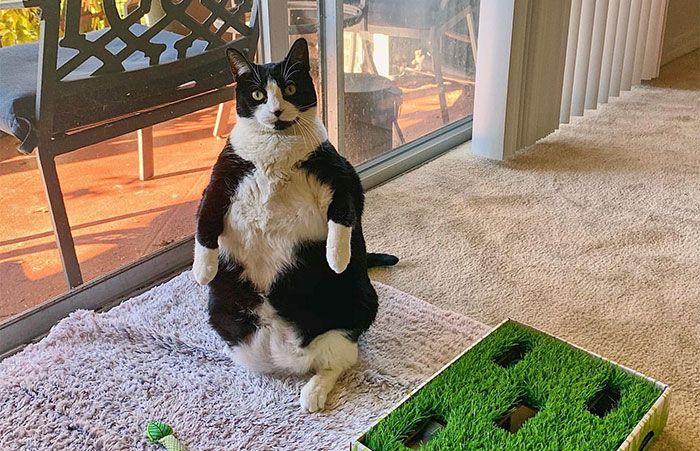 This Chonky Cat Is Going Viral For Standing Like A Penguin