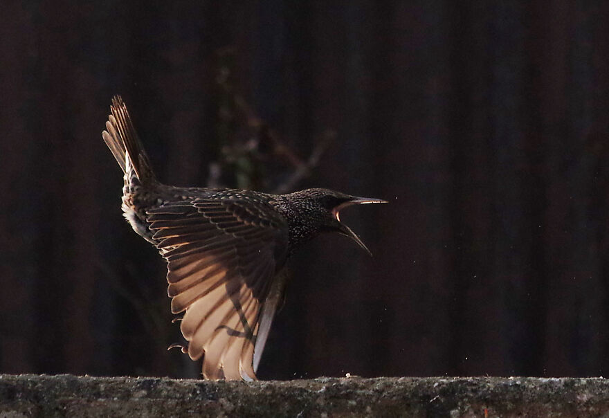 Starling Taking Off. The Tips Of Its Wings Are Touching The Floor As It Launches An Attack Against Another Bird