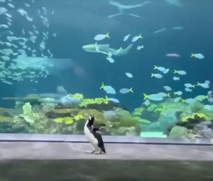 Shedd Aquarium's Penguins Continue Exploring The Empty Aquarium During Its Closure
