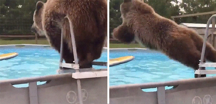 This Bear Flopping Into A Pool