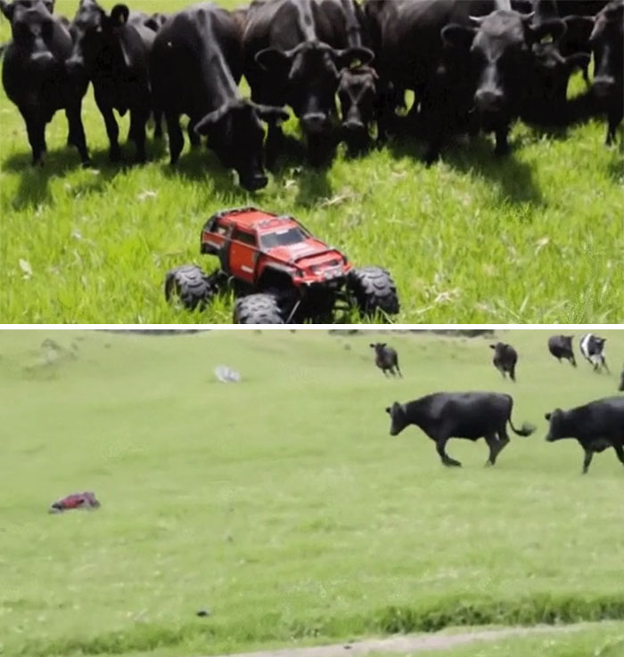 Curious Cows Investigate A Strange Visitor In Their Field