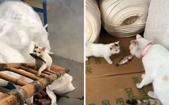 Momma Cat Bringing Fish For Kitten