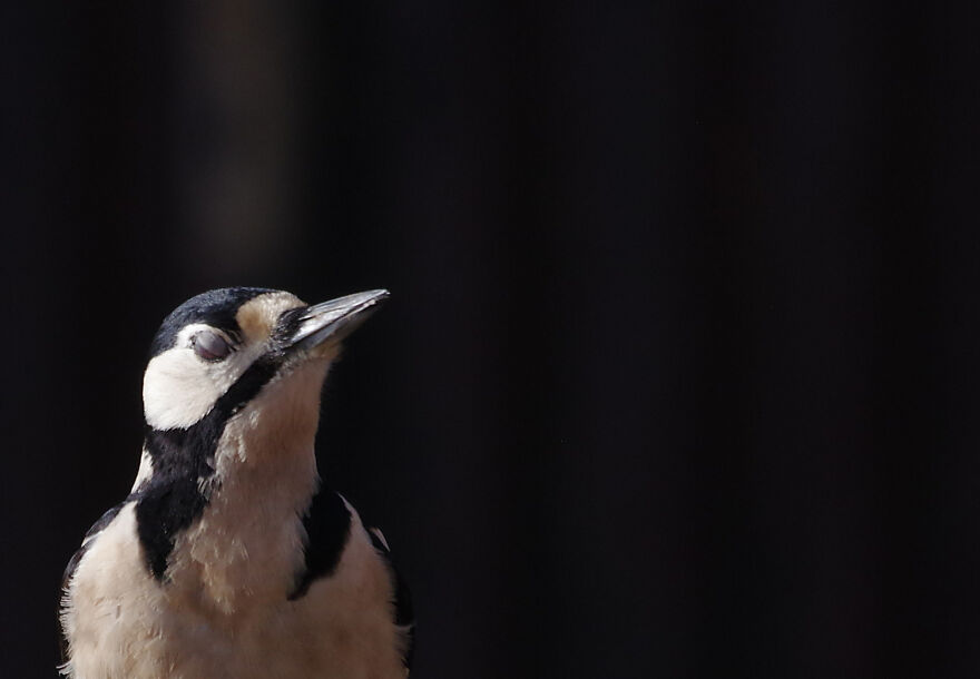 Greater-Spotted Woodpecker Enjoying A Rare Moment In The Sun