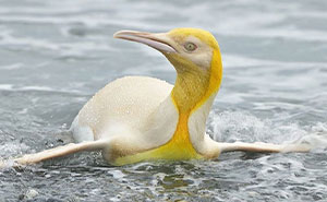 """Este fotógrafo de fauna retrató a un pingüino amarillo, algo """"nunca visto"""", ya que solo se da 1 caso entre cada 146000"""