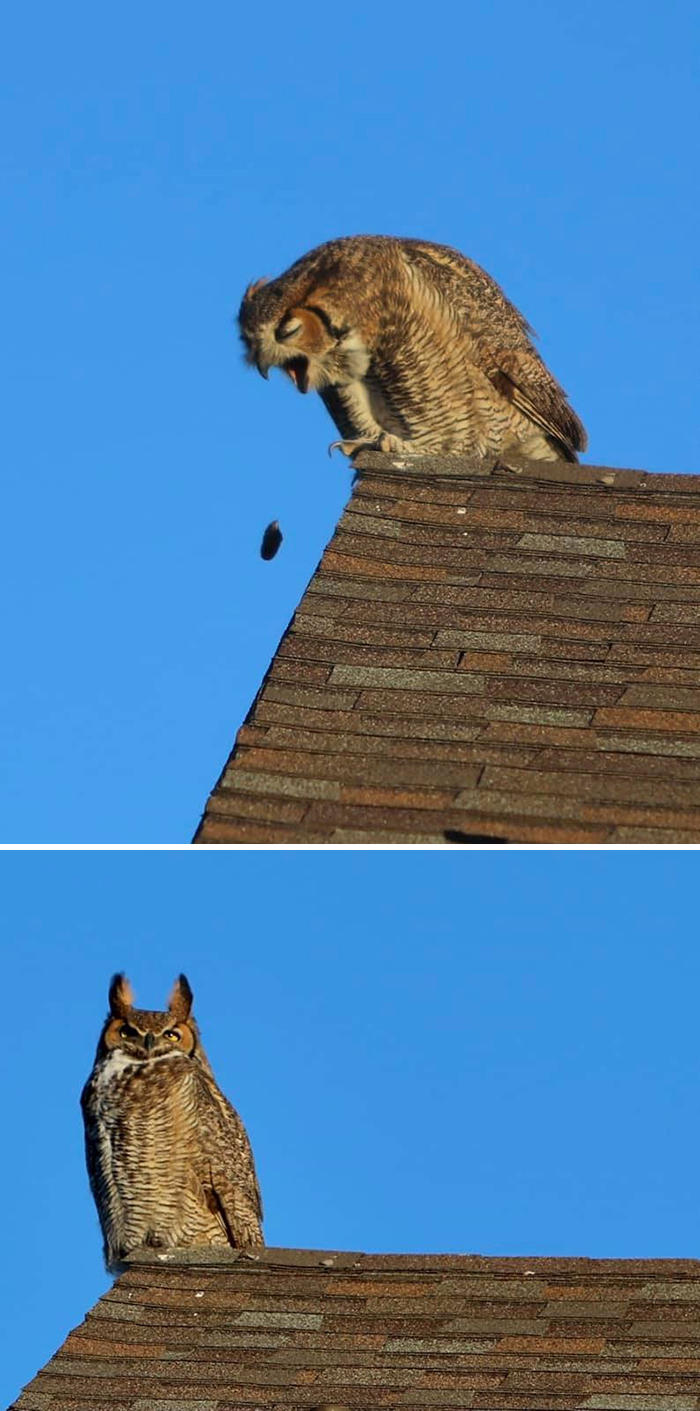 This Great Horned Owl Was Chilling On The Roof Behind Our House. I Raced Around The Block Where The Light Was Better And Got This!