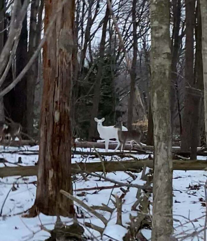 I Saw A White Deer In The Woods The Other Day