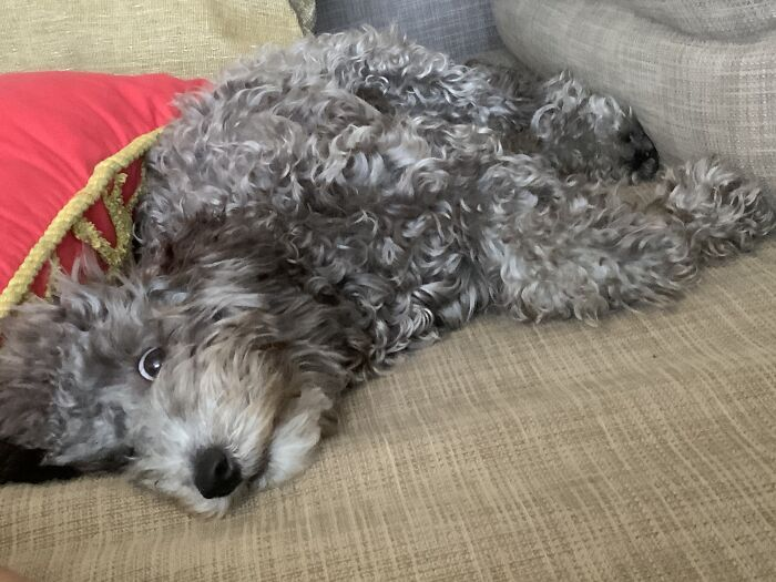 """My Jackapoo's """"So Relaxed I'm Almost Asleep"""" Face"""