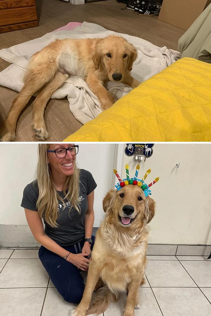 Nos llevamos a casa a este cachorro enfermo que tenía cirrosis hepática y del que no se esperaba que viviera más de tres meses. Hoy se cumple un año desde que lo trajimos a casa y ahora está más sano que nunca