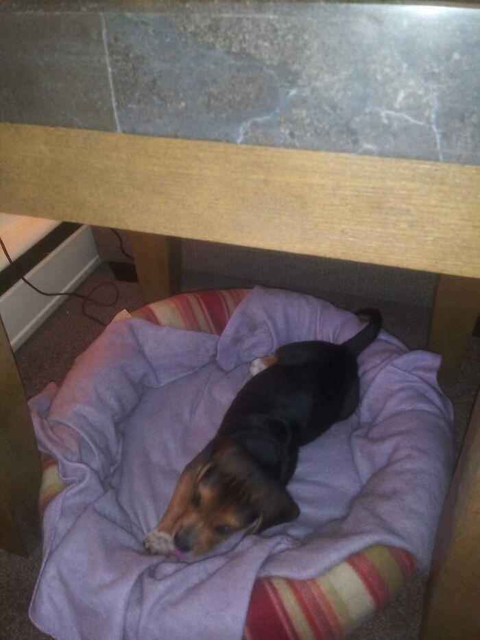Meet Barney The Beagle!