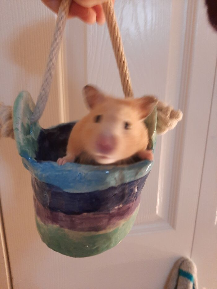 My Sweet Hamster Bebe Before She Passed. Gentlest Hamster Ever And Incredibly Cuddly. I Miss Her Every Day