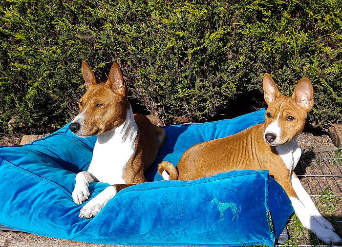 Kion And Xena-Two Basenjis Enjoying The Sunshine!
