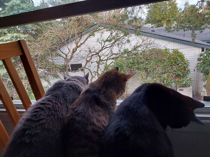 Birdies Watchers (Barley-Bean Looks Inside When Birds Go Out Of Eye Sight...he Thinks They Might Be On The Floor)