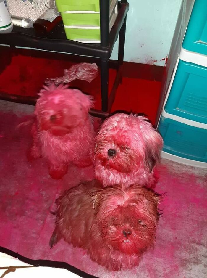 These Three Naughty Dogs Destroyed A Packaging Of A Colorant Powder. Fortunately, The Powder Was Edible