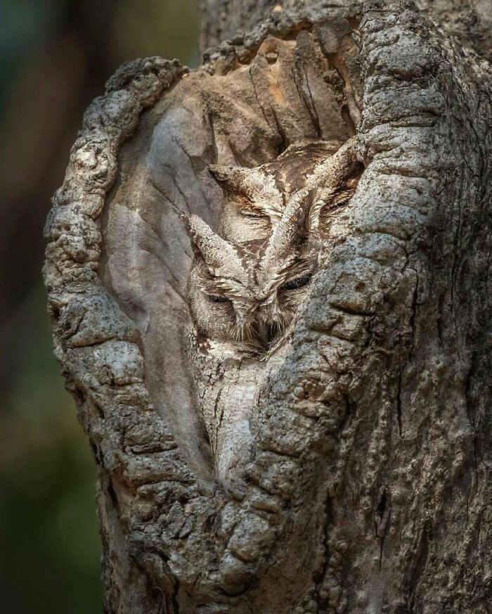 Outstanding Camouflage Of Owls