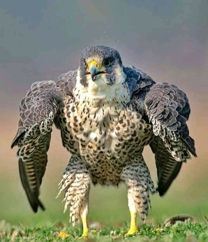 Absolute Unit Of A Peregrine Falcon