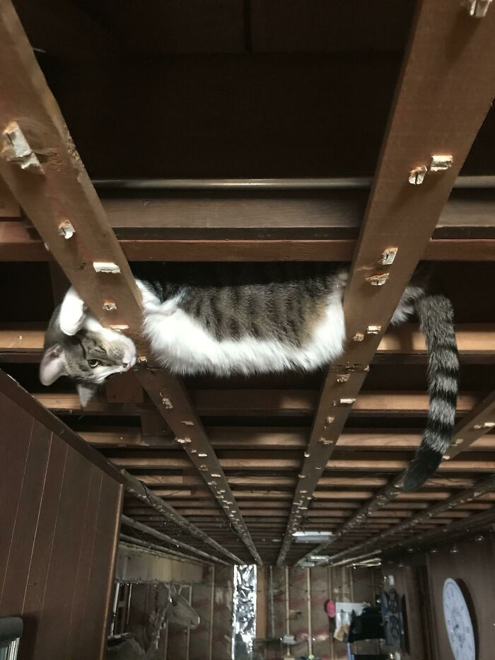 I'm Remodeling My Basement And All The Ceiling Tiles Were Just Removed. I Found My Cat Like This