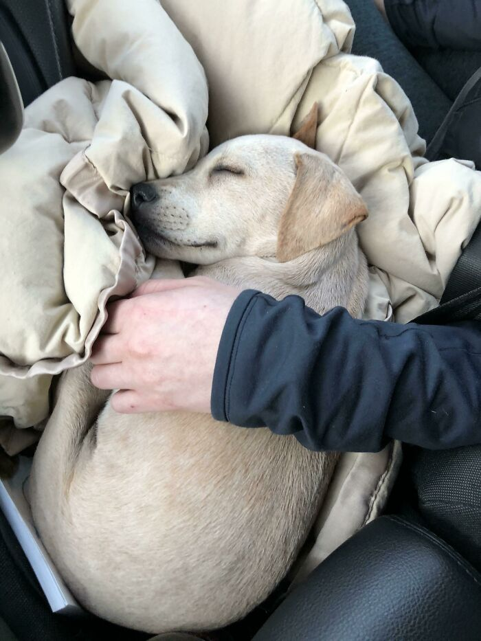 Rescued In Puerto Rico, Adopted In New York, Passed Out On The Way Home.