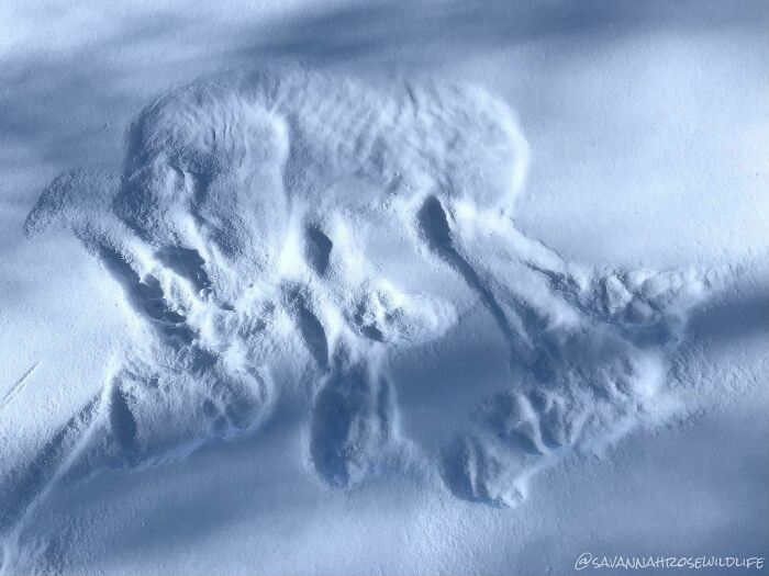 I Found This Print From Where A Gray Wolf Slept In The Snow. You Can Even See Her Ribs!