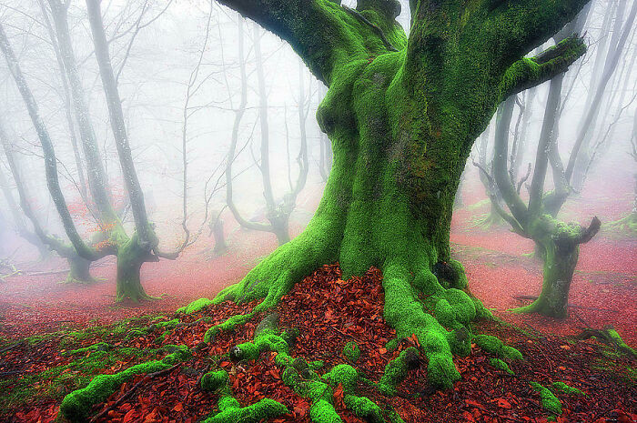 Bosque en el País Vasco con troncos cubiertos de musgo y las hojas recién caídas