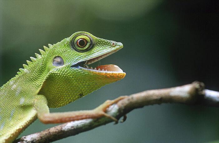 Behaviour - Amphibians And Reptiles, Bronze: Mr Endy, Singapore