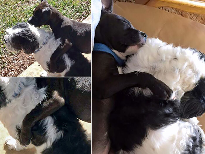I Brought Home A Pittie Pup Who Declared My Shih Tzu Her New Bff & Was Obnoxious With The Pda.