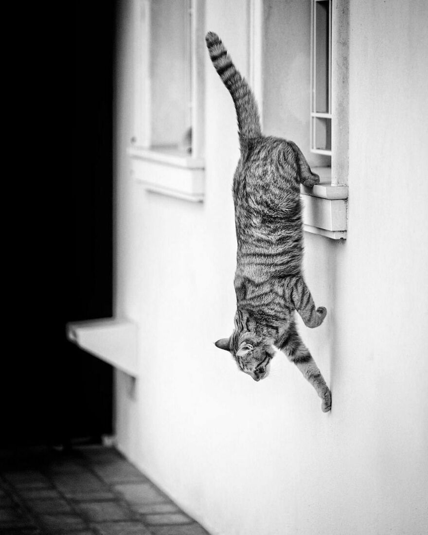 And There He Goes Again... Downwards! Maybe When He Was A Kitten He Was Not Taught That He Simply Ought To Jump Down The Sill