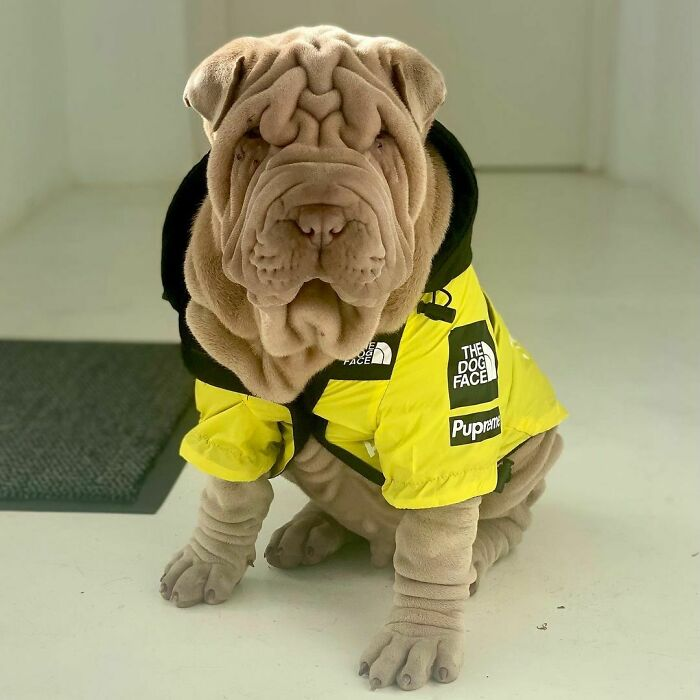 Blanket-Dog-Shar-Pei-Wrinkles-Harvey-Thesharpei