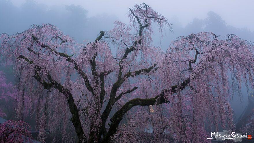 I Captured Sakura Blooming In Japan (25 Pics)