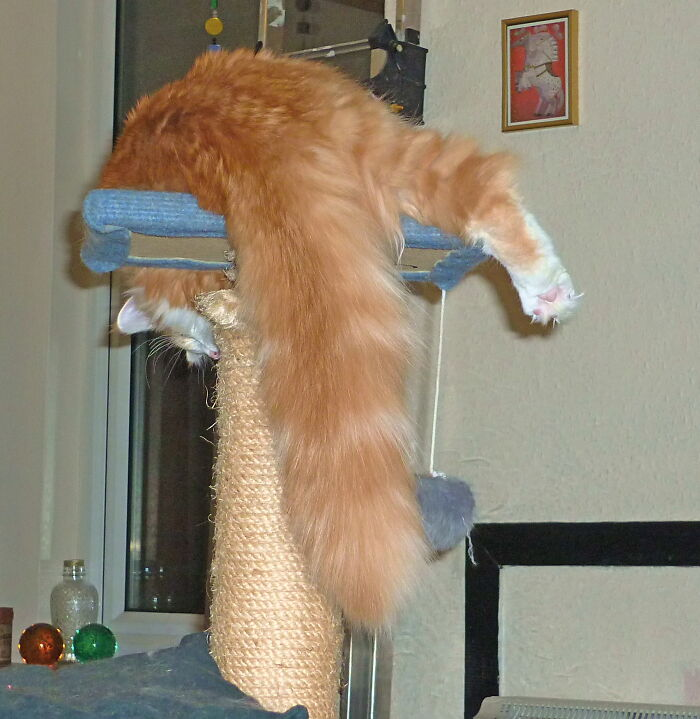 And Here We See The Majestic Norwegian Forest Cat. A Breed Of Beauty And Dignity.