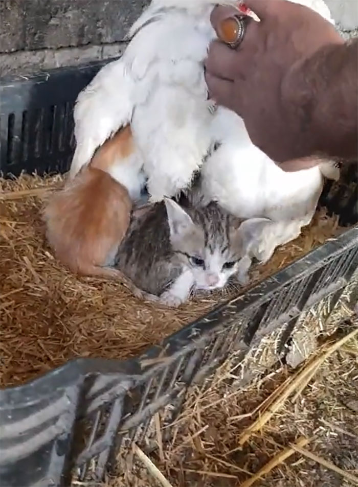 A Guy Finds His Chicken Taking Care Of Three Orphaned Kittens And Captures It In A Viral Video