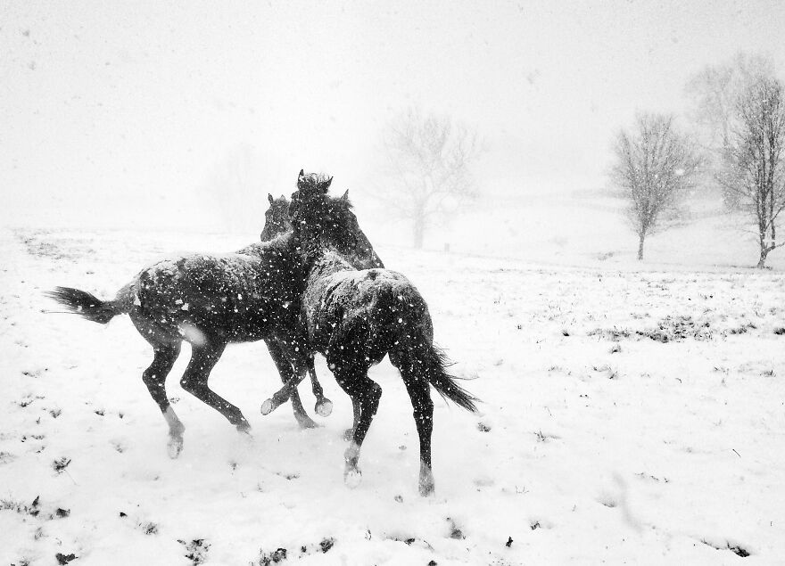 Black & White, 1st Place: Horse Play By Alessandra Manzotti