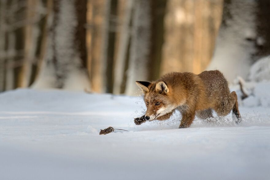 Little Red Hunter