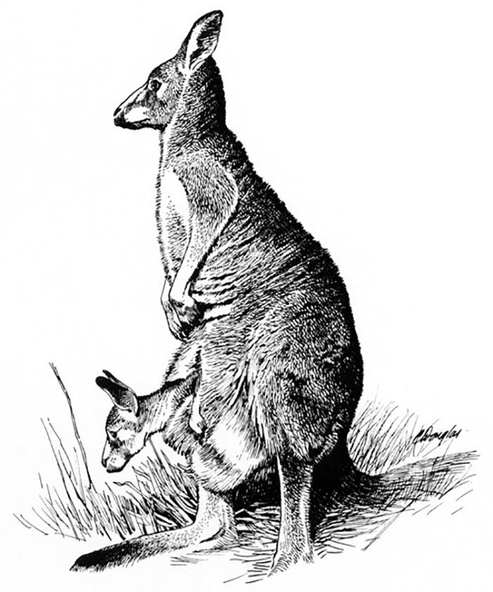 Til When Pursued, Kangaroos Will Lure The Chaser To Bodies Of Water. So They Can Hold Their Pursuer Under And Drown Them.