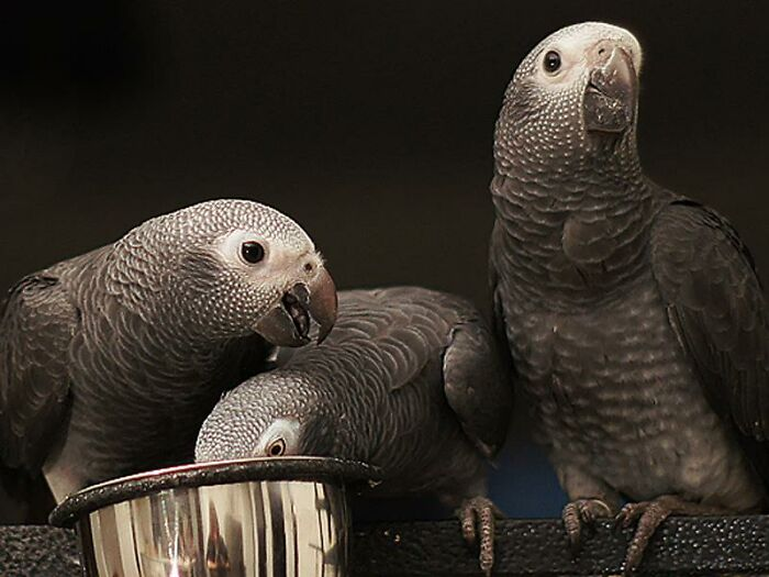 Til: Researchers Taught African Grey Parrots To Buy Food Using Tokens. They Were Then Paired Up, One Parrot Given Ten Tokens And The Other None. Without Any Incentive For Sharing, Parrots With Tokens Started To Give Some To Their Broke Partners So That Everyone Could Eat