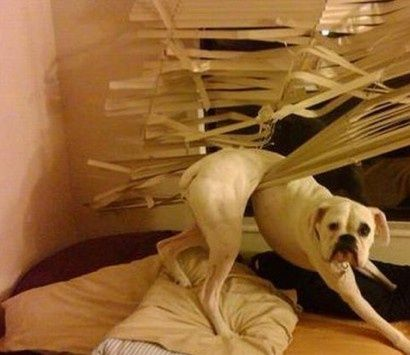derp-dog-in-blinds-6059136161ace.jpg