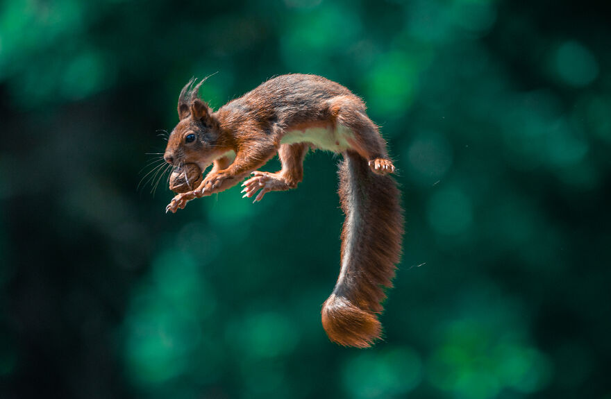 I've Spent 5 Years Photographing Jumping Red Squirrels And Here Are 38 Of My Best Photos