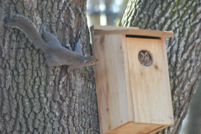 I Was Thrilled To See An Owl Actually Moved Into The Owl House We Put Up A Few Months Ago. The Evicted Squirrel? Not So Thrilled
