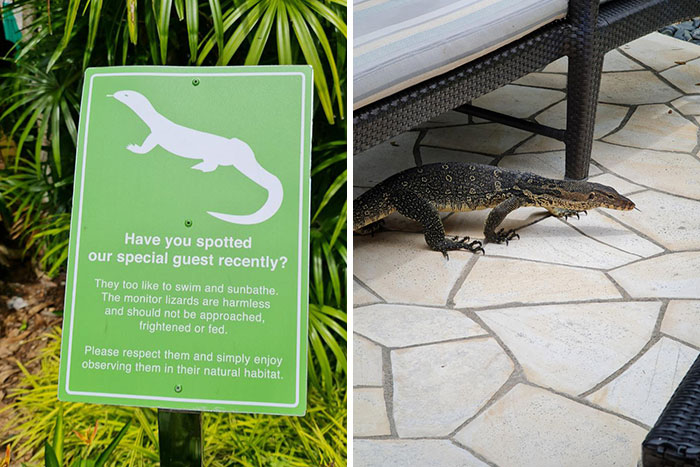 The Hotel I'm Staying At Has A Monitor Lizard That Roams The Grounds And Swims In The Pool
