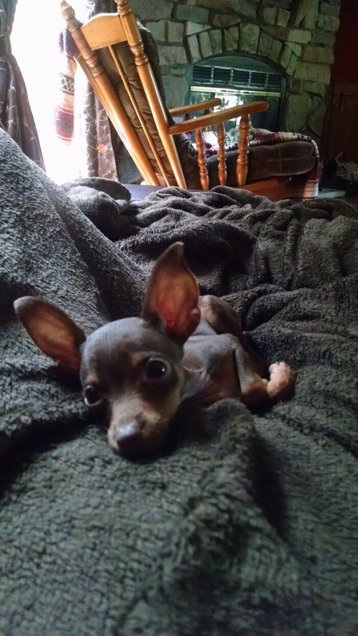 My Miniature Pinscher Daisy. 💛🌼 She's Still Pretty Tiny Too, Only 4lbs.