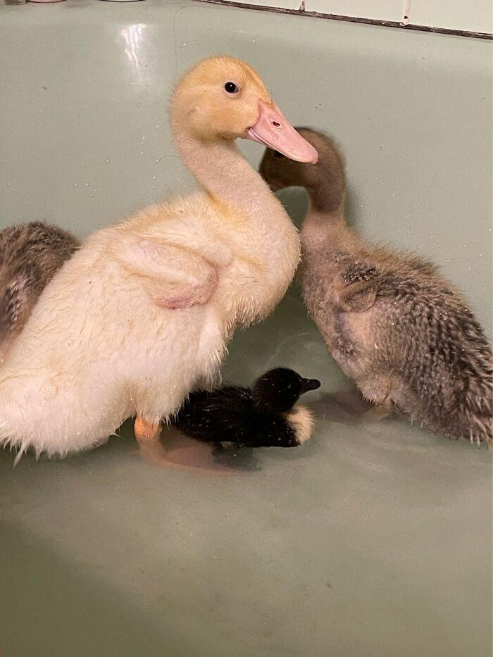 My Ducklings. Big Ones Are Three Weeks. Black One Is One Week.